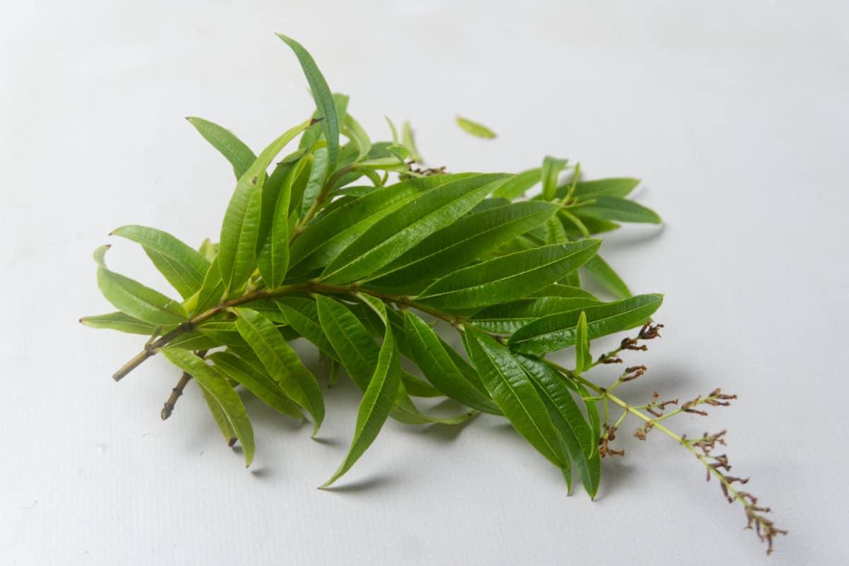 fresh lemon verbena leaves
